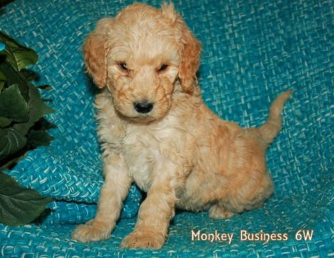 Mokey Business 6 weeks old