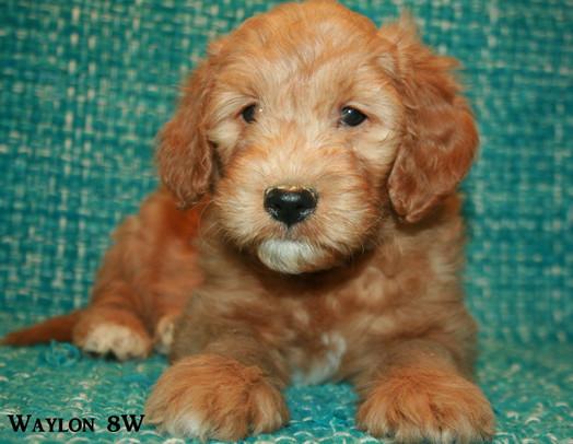 Waylon Jennings, male, 8 weeks,