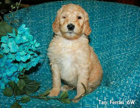 Tan Ferrari 6 weeks old