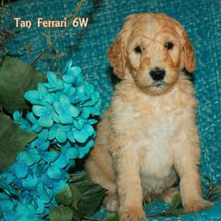 Tan Ferrari 6 weeks old