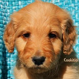 Sugar Cookitini 6 weeks old