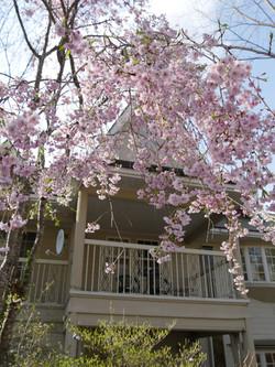 GWが見ごろの枝垂れ桜