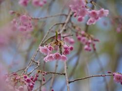 枝垂れ桜のつぼみ