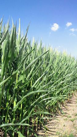 北軽井沢のトウモロコシ畑