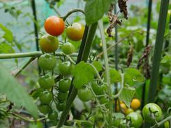 夢紀行菜園で採れる無農薬ミニトマト