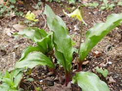 庭でひっそり咲く黄色カタクリ