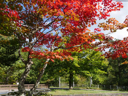 一番早く紅葉する熊川沿いのモミジ