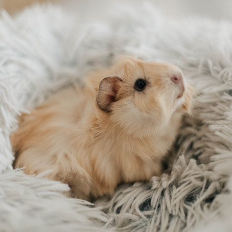 Did you know I love Guinea Pigs?