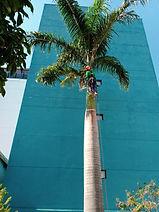 Limpeza de palmeira - São Leopoldo Mandic Campinas.jpeg