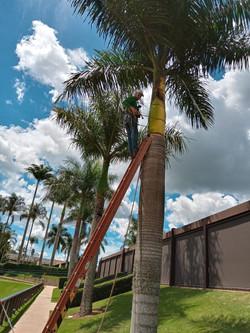 Limpeza de palmeira - Clube Hípico Quinta da Baroneza