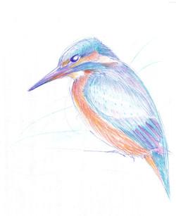 Kingfisher pencil sketch