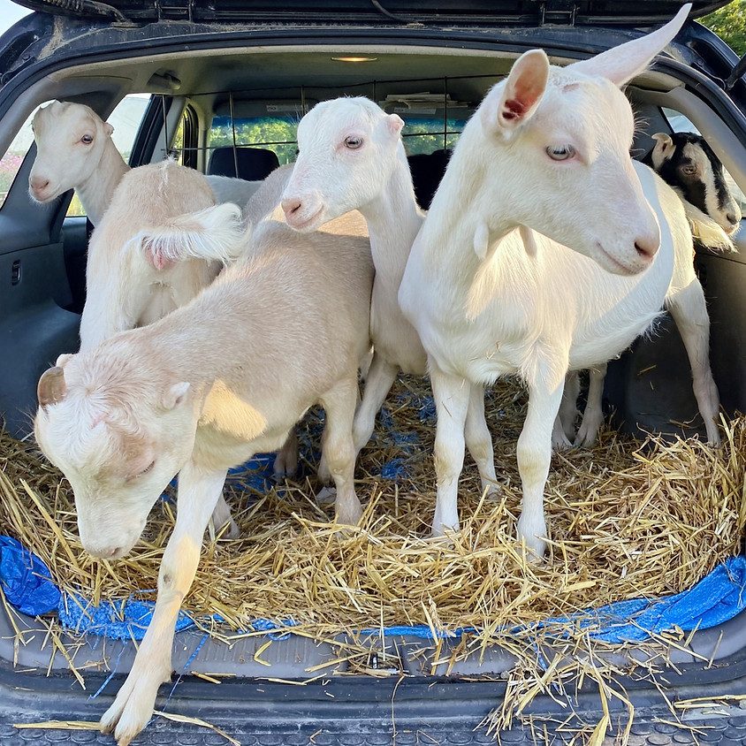 Baaamaste Goat Yoga!