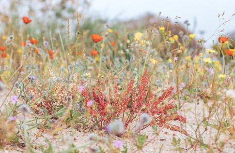 Полевые цветы, Израиль. Field poppies, Israel.