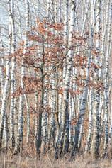 Березовая роща, Тульская область. Birch grove, Tula region.