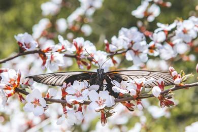 Королевская бабочка. Royal butterfly.