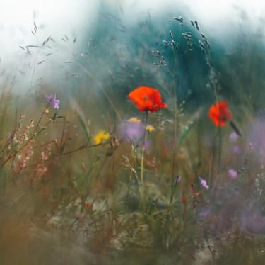 Полевые маки, Израиль. Field poppies, Israel.