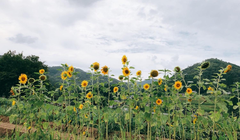 sun flower in Miwa