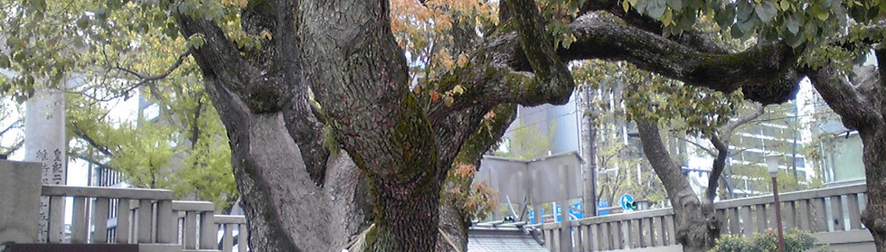 400 years old tree in Osaka
