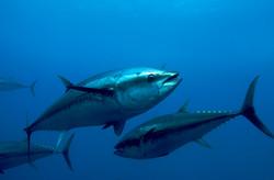 Mediterranean Bluefin Tuna