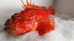 Wild Mediterranean Scorpion Fish