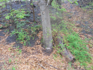Are invasive trees a problem in your yard?