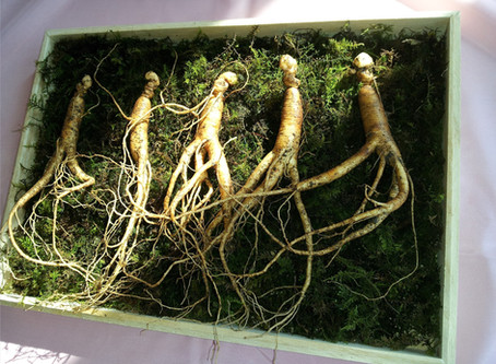 Ginseng and pregnancy. Is it safe?