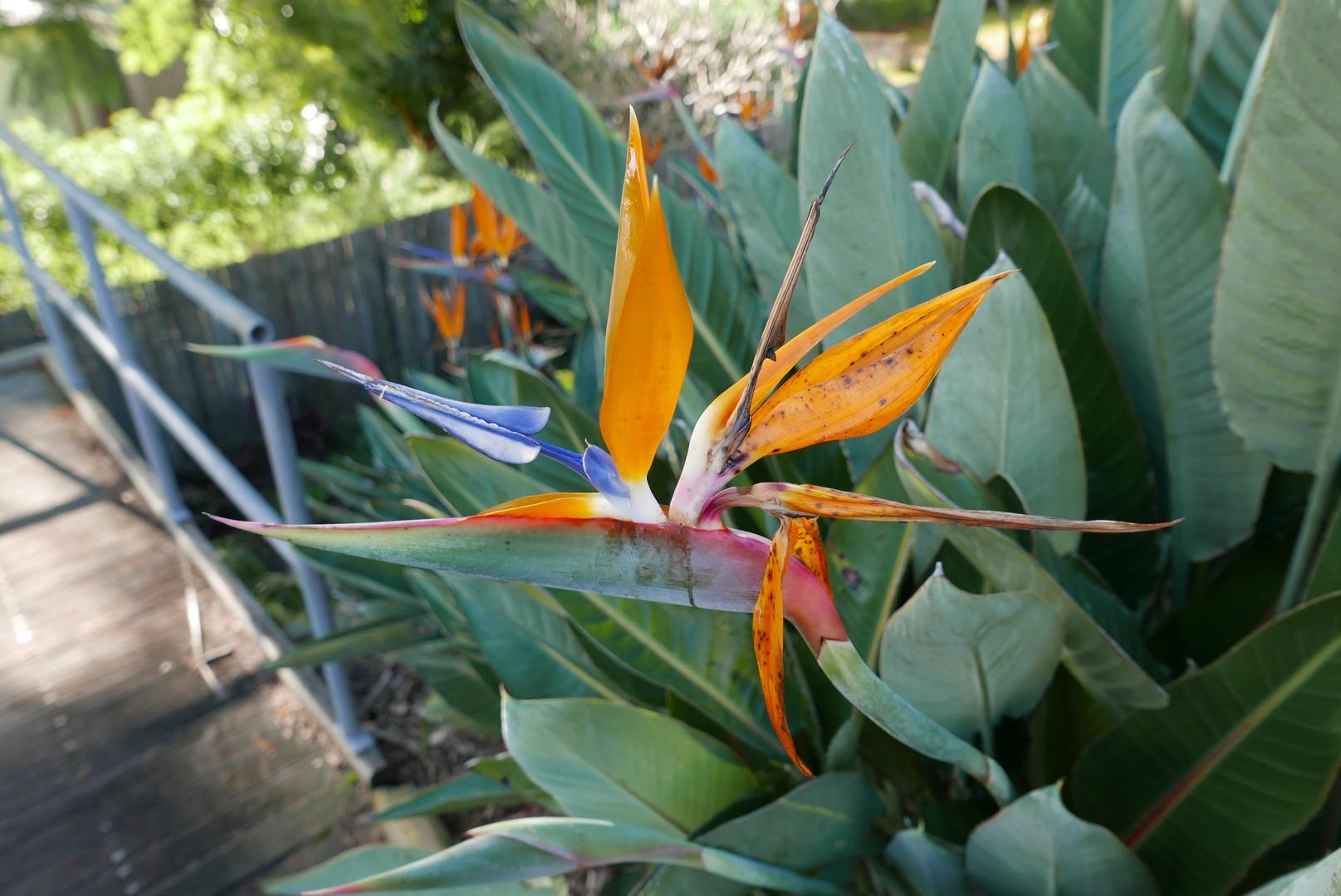 The Crane flower on Cackatoo Island