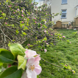 Apple blossom on the front garden