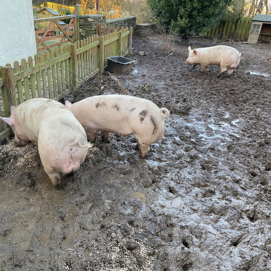 The infamous pigs of Lower Reen Farm