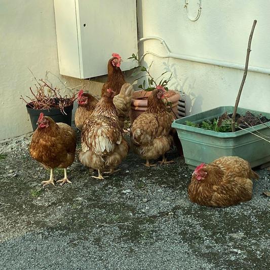 Those sassy chickens!