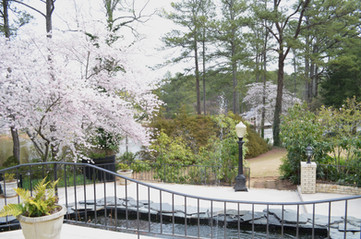 Cherry Trees by the Koi Pond
