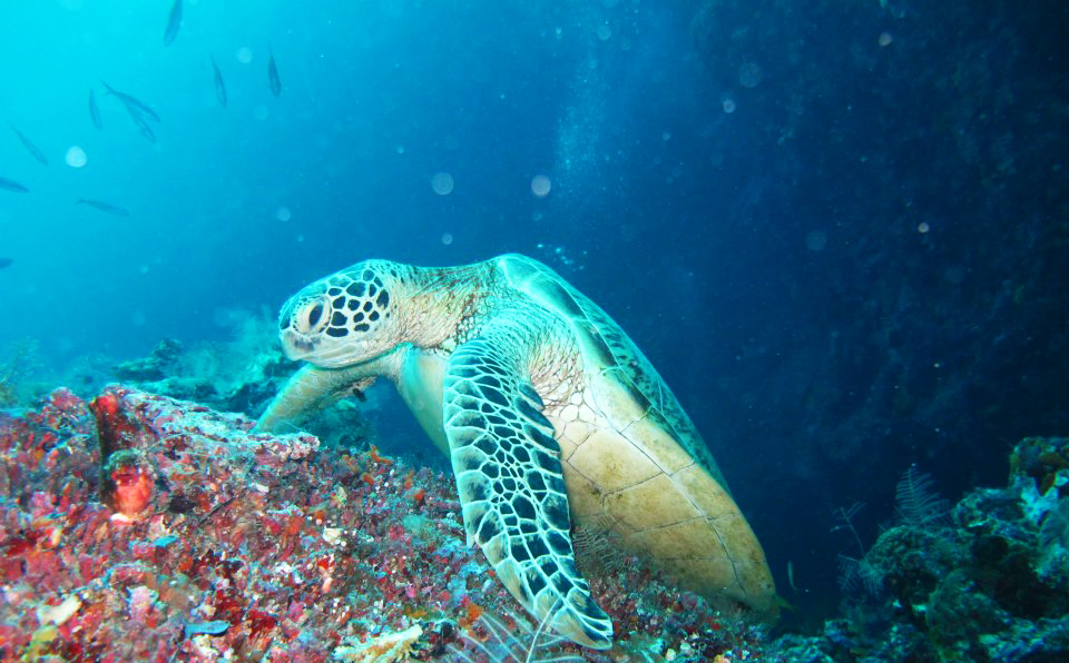 A turtle resting on a bit of coral