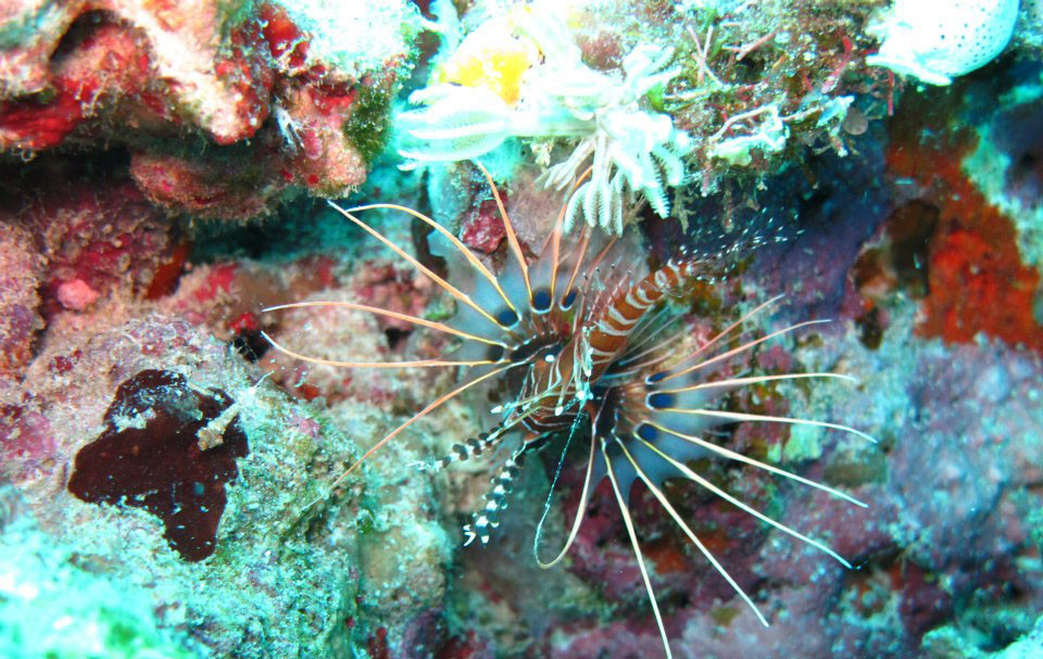 Lionfish hovering over coral reef.