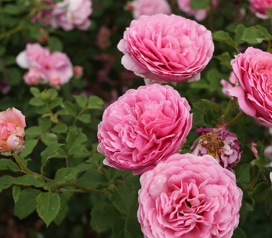 Rose Roots Community Garden