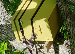 FERAL HONEY BEE RECOVERY – Sustaining A Local Resource