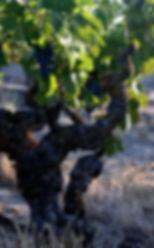 Twisted Roots 1918 Old Vine Zinfandel