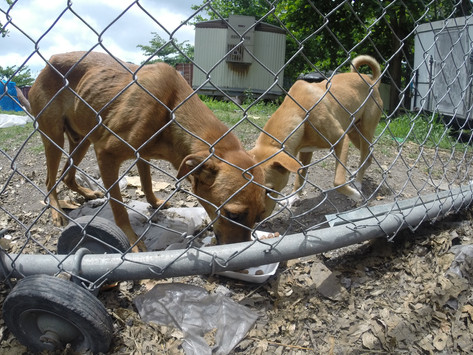Starving neglected dogs in a pen