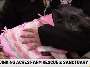 Pig in sweater is perfect mascot for rescue