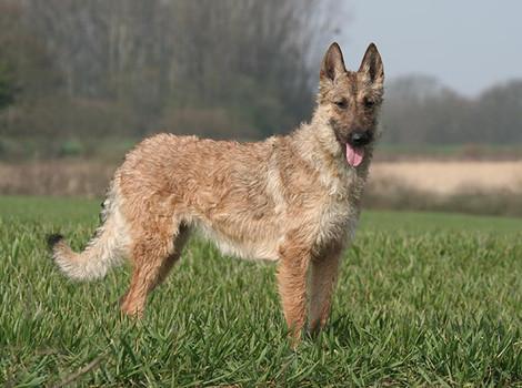 Belgian Laekenois recognized as newest AKC breed