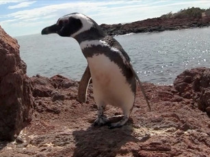 Saving the penguins