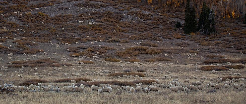 schapen panorama.jpg