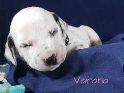 Varana-2w (1)