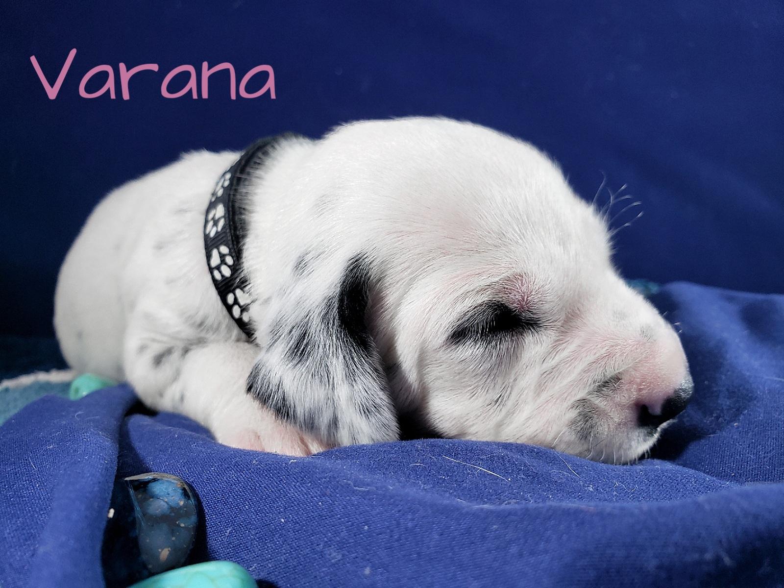 Varana-2w (3)
