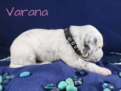 Varana-2w (6)