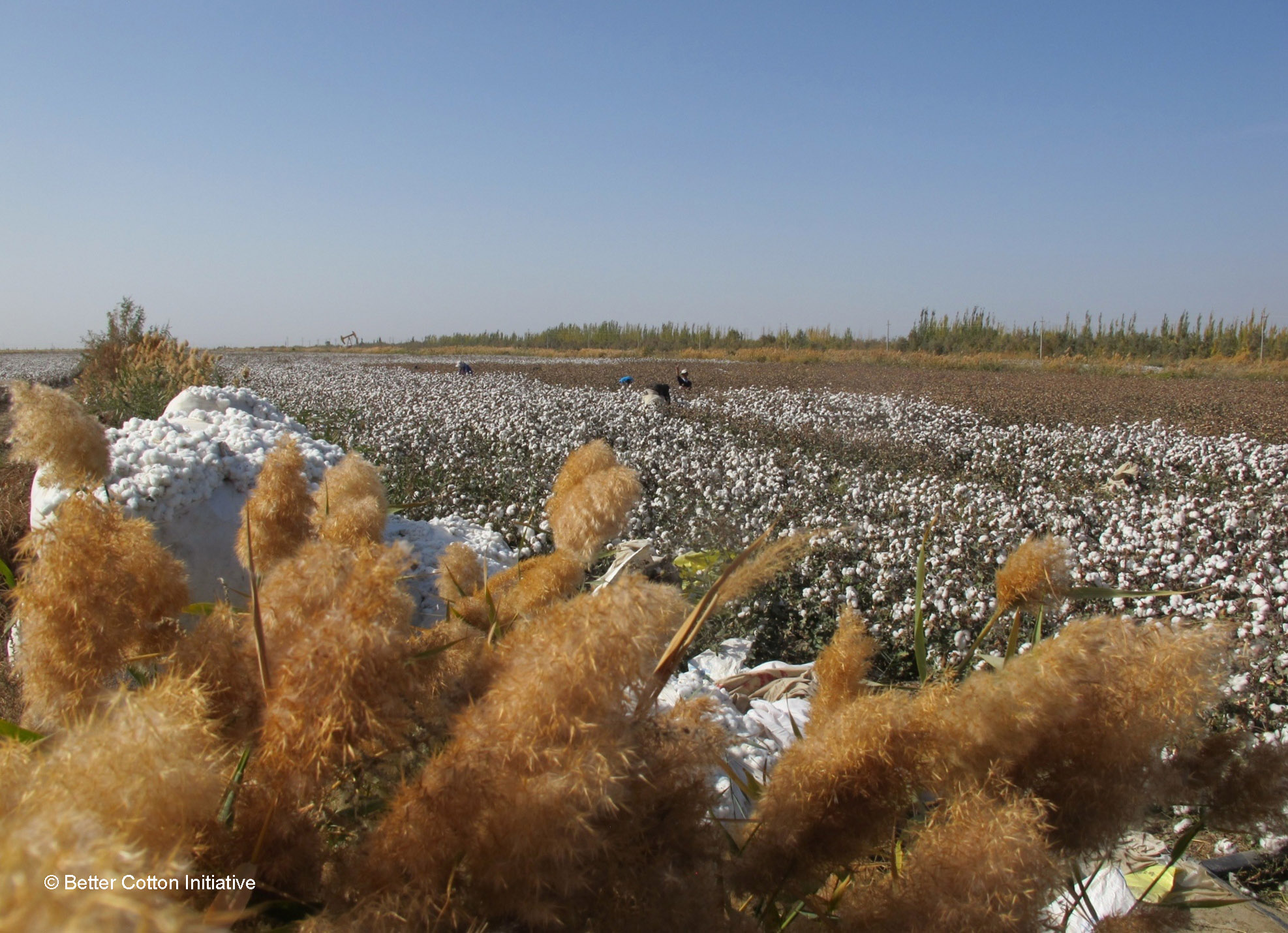 Turkish Cotton FieldC