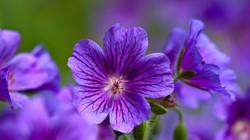 violet_flowers_close-up_petals_17692_1920x1080
