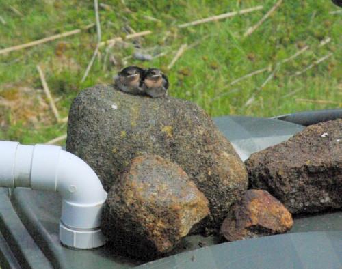Welcome swallow fledglings.jpg