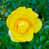 07-yellow-rose.jpg