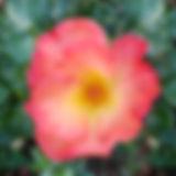 04-orange-rose.jpg