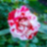 05-tiger-rose.jpg